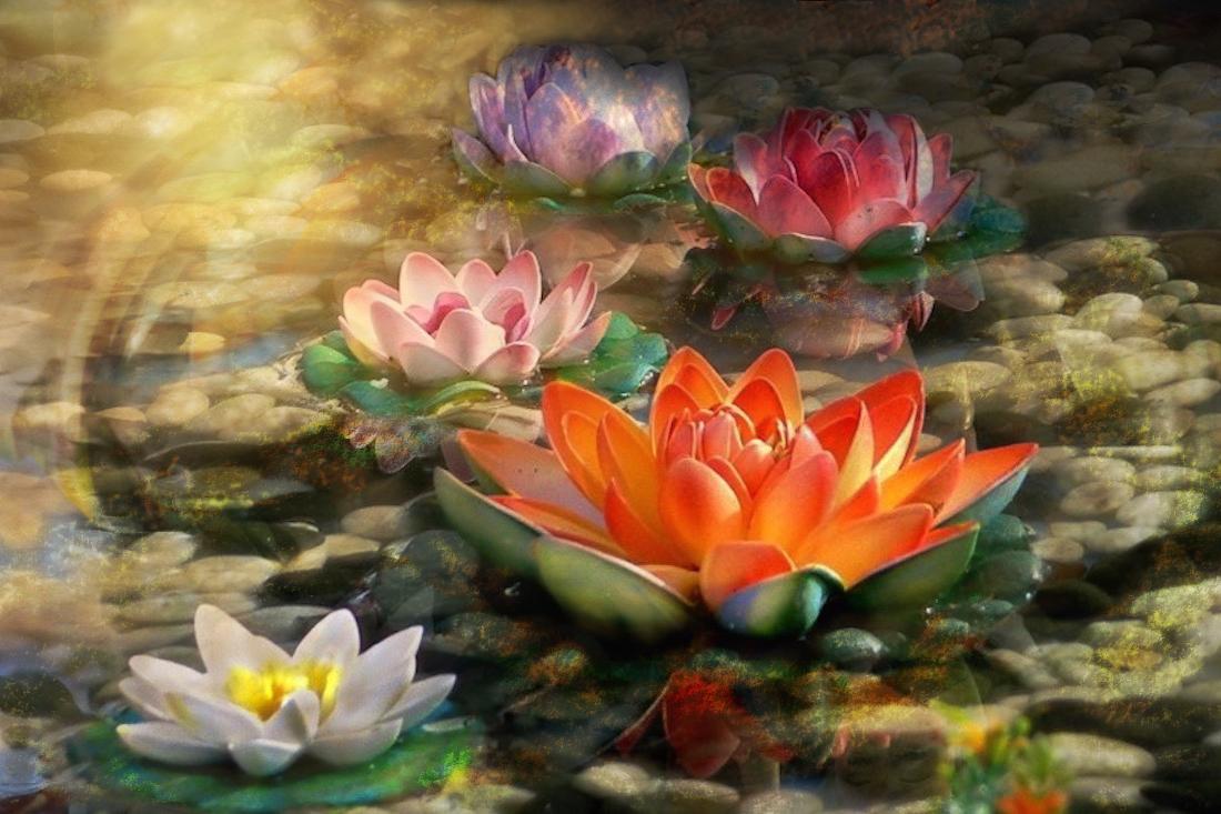 lotus-flowers-1100x733
